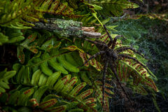 Araña negra Imagenes de archivo