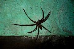 Araña negra Imágenes de archivo libres de regalías