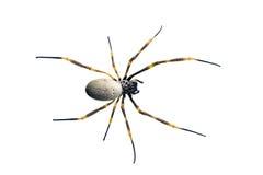 Araña Orbe-que teje de oro, maculata de Nephila Imagenes de archivo