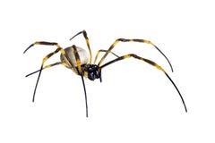 Araña Orbe-que teje de oro, maculata de Nephila Fotografía de archivo