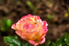 araña Pétalo de la flor Foto de archivo libre de regalías