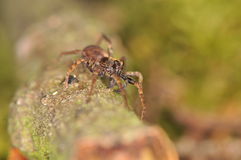 Araña - Pardosa Imágenes de archivo libres de regalías