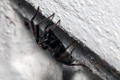 Araña, pequeña casa negra, Badumna Longinqua Foto de archivo libre de regalías