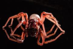Araña polivinílica de Roly aislada en negro con la reflexión Imágenes de archivo libres de regalías