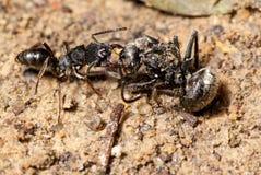 Araña que ataca de la hormiga Fotos de archivo libres de regalías