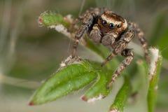 Araña que camina en la hoja imagen de archivo