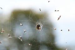Araña que caza la mosca en su su web imagenes de archivo