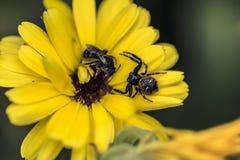 Araña que caza una abeja Fotografía de archivo