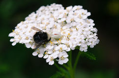 Araña que come el abejorro en la milenrama Imagen de archivo