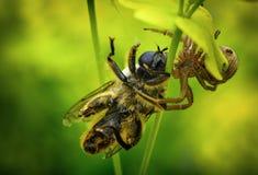 Araña que come la abeja Fotos de archivo libres de regalías