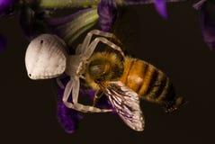 Araña que come la abeja Imágenes de archivo libres de regalías