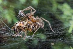Araña que come la avispa Imagen de archivo