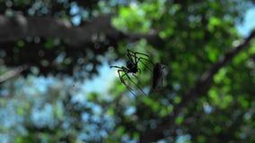 Araña que come la cigarra en bosque de la selva almacen de video
