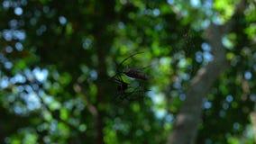 Araña que come la cigarra en bosque de la selva metrajes