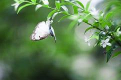 Araña que come la mariposa Fotos de archivo