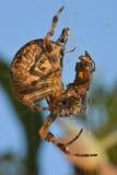 Araña que come una mosca cogida en web Imagen de archivo