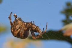 Araña que come una mosca cogida en web Fotografía de archivo