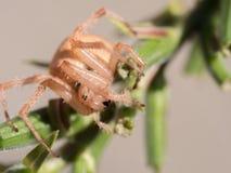 Araña que consigue lista para pegar Fotos de archivo
