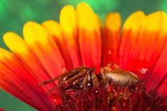 Araña que cuelga hacia fuera en una flor roja Imagen de archivo libre de regalías