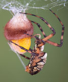 Araña que envuelve una caja del huevo imagenes de archivo