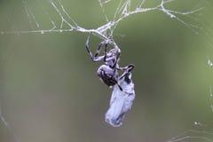 Araña que envuelve una mariposa Imagenes de archivo