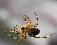 Araña que hace girar su web. Fotografía de archivo libre de regalías