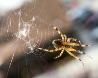 Araña que hace girar su web. Imagen de archivo