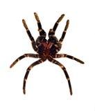 Araña que muda Imagen de archivo