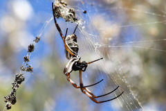 Araña que teje del orbe de oro Fotografía de archivo libre de regalías