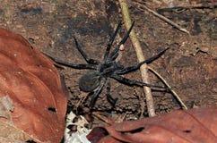 Araña que vaga brasileña Fotos de archivo