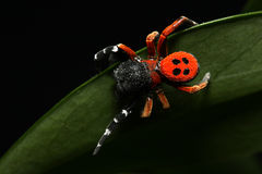 Araña roja del pájaro de la señora Foto de archivo libre de regalías