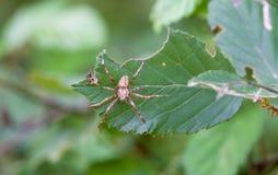 Araña (stellatus del diadematus del Araneus) fotografía de archivo libre de regalías