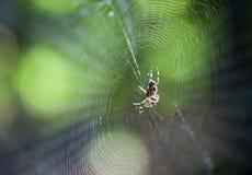 Araña (stellatus del diadematus del Araneus) foto de archivo libre de regalías