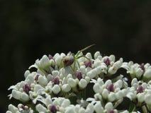 Araña tímida en smokebush fotografía de archivo