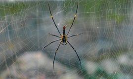 Araña/tejedor de oro gigantes de la orbe-web Maculata o Nephila científico Pilipes de Nephila del nombre que descansa en su web p foto de archivo