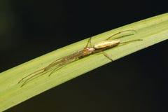Araña - tejedor jawed largo del orbe imágenes de archivo libres de regalías