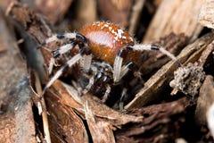 Araña: Tejedor veteado del orbe Foto de archivo