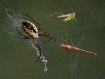 Araña, tolva, y libélula en Web Fotos de archivo libres de regalías