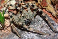 Araña verdadera Imágenes de archivo libres de regalías