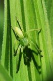 Araña verde Imagenes de archivo