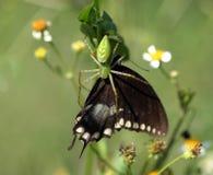 Araña verde con la mariposa Fotos de archivo libres de regalías