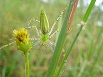 Araña verde del lince Foto de archivo libre de regalías