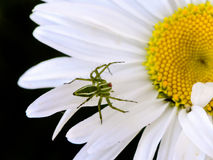 Araña verde del lince en la margarita blanca Foto de archivo libre de regalías