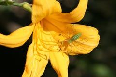 Araña verde del lince en lirio amarillo Fotografía de archivo