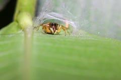 Araña verde principal del salto Imagen de archivo