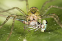 Araña verde que come un cierre de la macro de la libélula encima del detalle Imagen de archivo libre de regalías