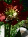 Araña y abeja Foto de archivo