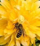 Araña y abeja del cangrejo Foto de archivo