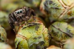 Araña y brotes de salto Imagen de archivo