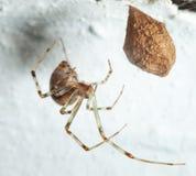 Araña y capullo foto de archivo libre de regalías